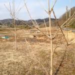 漆苗の植林