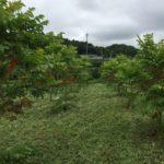 8月の漆畑